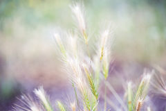 Meadow plants, spikelets. In field Stock Photo
