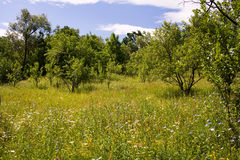 Meadow with plum trees Stock Photography
