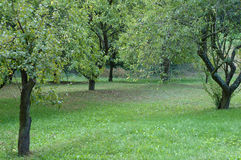 Meadow and plumtrees. September, plumtrees in an orchard Royalty Free Stock Image