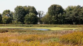 Meadow with a pond surrounded by cattails and trees Royalty Free Stock Photo