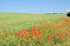 The meadow with poppies. Green meadow with red poppies and blue sky Stock Photo