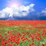 Meadow with poppies Royalty Free Stock Photography