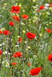 Meadow with poppies Royalty Free Stock Images