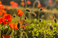 Meadow with poppies Stock Images