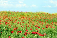 Meadow with poppies flowers spring Royalty Free Stock Photos