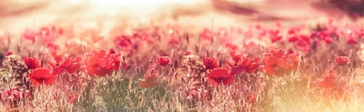 Meadow of poppies in the late afternoon - early evening, wild red poppies illuminated by rays of the setting sun. Dusk, selective and soft focus on poppy stock photo
