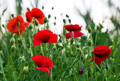 Meadow of poppies Royalty Free Stock Photo