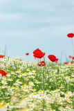 Meadow with poppy and chamomile flowers Stock Images