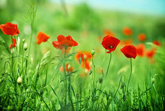 Meadow poppy flower Stock Photography