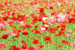 Meadow of poppy flower Stock Photo