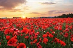 Meadow with Poppy flowers stock photo