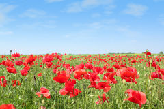 Meadow with poppy flowers Stock Image