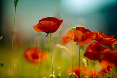 Meadow with Poppy Flowers Royalty Free Stock Photos
