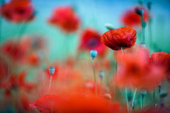 Meadow with Poppy Flowers Royalty Free Stock Images