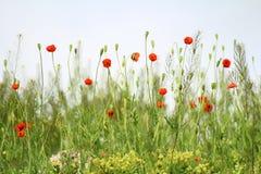 Meadow with poppy Stock Photo