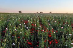 Meadow with Poppy flowers royalty free stock photo