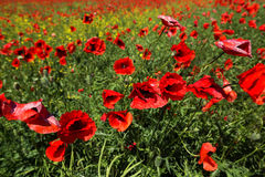 Meadow with poppy flowers Royalty Free Stock Image