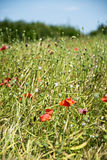 Meadow with poppy seeds Stock Photography