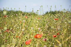 Meadow with poppy seeds Royalty Free Stock Photos