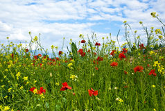 Meadow with poppys. Yellow flowers and blue sky Stock Image