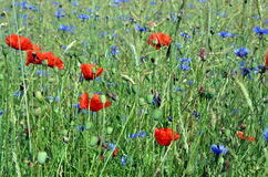 meadow with poppys and cornflower in summer royalty free stock image