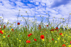 Meadow with poppys flowers under blue sky Royalty Free Stock Photo