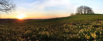 Meadow with primula cowslips at sunset Stock Photos