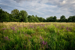Meadow with Pruple Flowers Royalty Free Stock Images