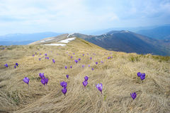 Meadow with Purple Crocuses Royalty Free Stock Images