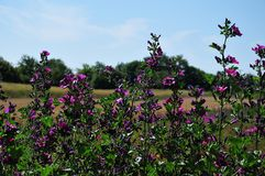 Purple mallows in summer landscape. Meadow with purple flowering mallows on sunny summer day Stock Photography