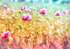 Meadow of purple poppy flowers Royalty Free Stock Photography