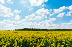 Meadow of rapeseed Stock Photography