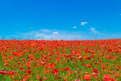Meadow of red poppies Royalty Free Stock Image