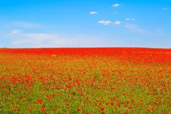 Meadow of red poppies against blue sky Royalty Free Stock Images