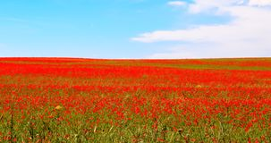 Meadow of red poppies against blue sky Stock Photo