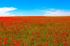 Meadow of red poppies against blue sky. With clouds Royalty Free Stock Image