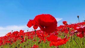 Meadow of red poppies against blue sky with clouds in windy day, farmland, countryside, rural background