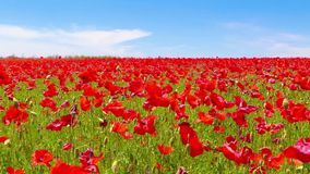 Meadow of red poppies against blue sky in windy day