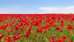 Meadow of red poppies against blue sky in windy day,  rural stock video footage