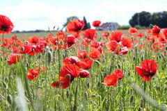 Meadow of red poppies Royalty Free Stock Photos