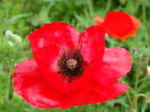 Meadow red poppies. Blossomed meadow red poppies close-up against a green background Royalty Free Stock Image