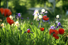 Meadow with red poppies and  irises Royalty Free Stock Images