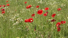 Meadow of red poppies stock video