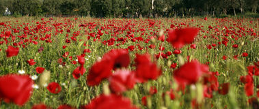 Meadow of red poppies Royalty Free Stock Images