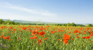 Meadow with red poppies stock images