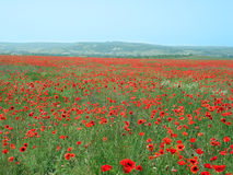 Meadow with red poppy Stock Image