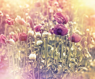 Meadow of red poppy flowers Stock Photos