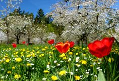 Meadow with red tulips and yellow dandelions and cherry trees in full bloom. Prunus avium, fruit tree meadow with grass and flowers and cherry blossom with blue stock photos