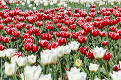 Meadow of red and white ornamental tulips Royalty Free Stock Image