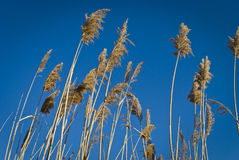 Meadow Reeds stock photo